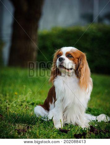 Cavalier King Charles Spaniel dog sitting on park grass