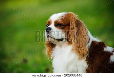 Cavalier King Charles Spaniel dog portrait on grass