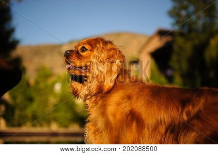 Cavalier King Charles Spaniel dog portrait in country