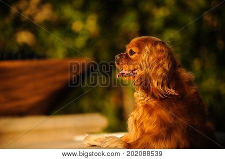 Cavalier King Charles Spaniel dog standing up in backyard