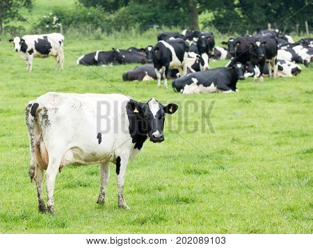 Herd of Holstein Friesian cattle standing and lying in a field