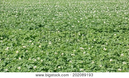 Field of potato plants flowering in the sun