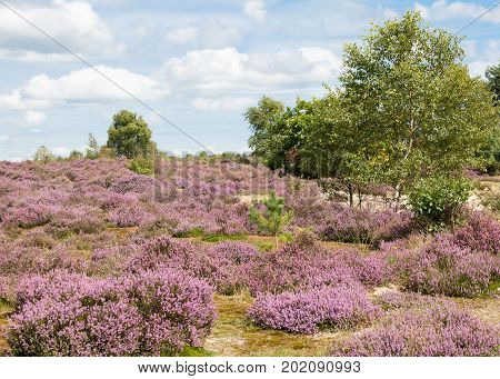 Heather covered heath land in Surrey UK