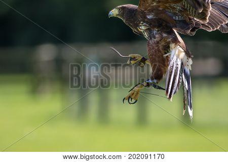 Falconry. Haris hawk bird of prey on display with copy space.
