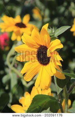 Vertical image of beautiful sunflowers in backyard garden