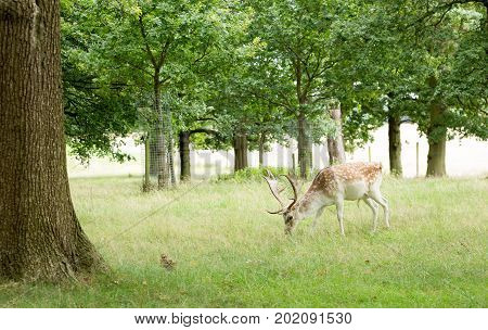 Fallow deer foraging for food in typical british woodland