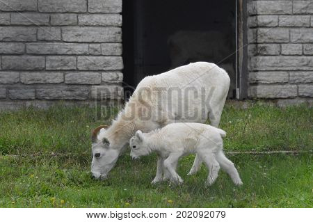 A young Dall sheep in the outdoors