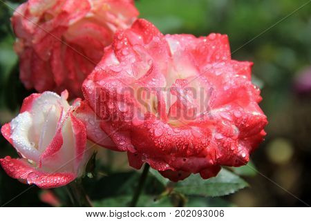 Horizontal image of beautiful roses covered in early morning dew.