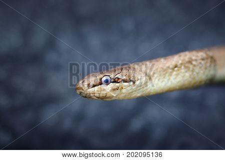 abstract portrait of european common smooth snake ( Coronella austriaca )