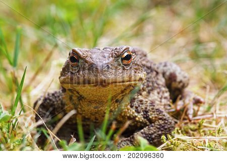 closeup of common brown toad standing in the grass ( Bufo ); this european amphibian has toxic glands on its skin