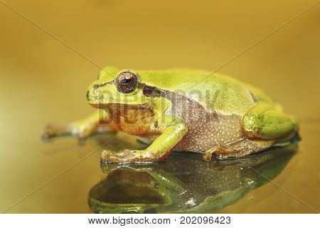 cute colorful green tree frog ( Hyla arborea )