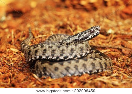 common viper standing on spruce forest ground ( Vipera berus )
