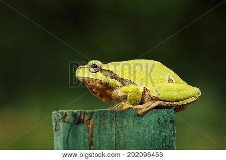 cute green tree frog standing on piece of wood full length animal ( Hyla arborea )