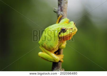 cute green tree frog climbing on twig ( Hyla arborea )