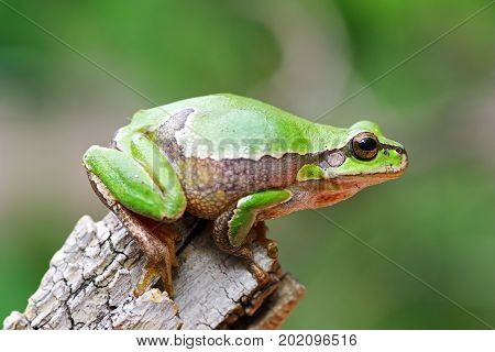 cute tree frog preparing to jump on wooden stump ( Hyla arborea )