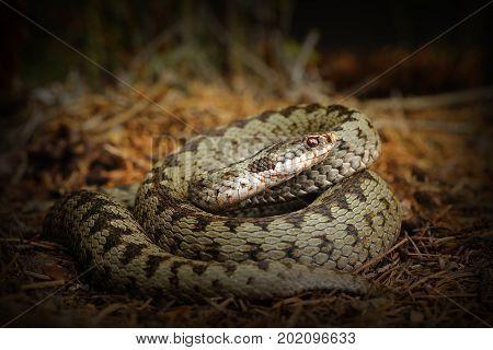 european crossed viper snake standing on forest ground ( Vipera berus )