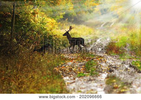 wild fallow deer buck crossing forest road in beautiful dawn light ( Dama in mating season )
