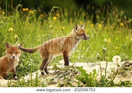 european red fox cub near the forest in a glade ( Vulpes )