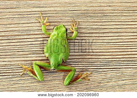 cute green tree frog climbing on wooden plank ( Hyla arborea )