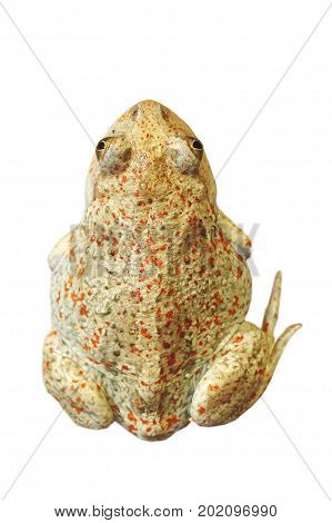 beautiful garlic toad isolated on white background ( Pelobates fuscus )