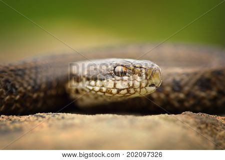 macro portrait of juvenile meadow adder ( Vipera ursinii rakosiensis listed as vulnerable in IUCN red list image taken in natural habitat on wild reptile )