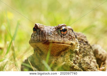 ugly portrait of european common brown toad standing in the grass ( Bufo female )