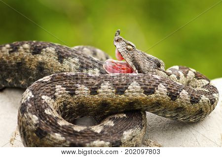 Vipera ammodytes showing its fangs; the nose horned viper is one of the most venomous widespread snakes from Europe