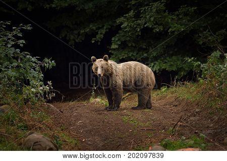 wild brown bear in carpathian mountains Romania ( Ursus arctos )