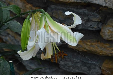 A Lily flower growing in the garden