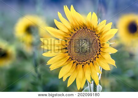 A beautiful sunflower blooms in a field on a bright sunny day in the Midwest.