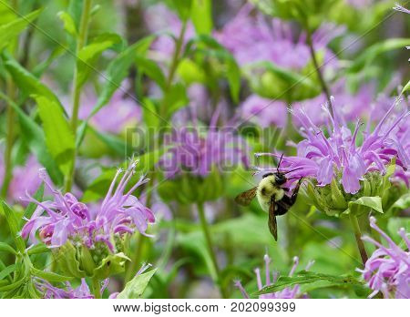 Bumble bee feeding on a wild bergamot blossom