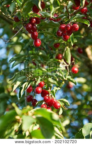 ripe red cornelian cherries called also cornel or dogwood on the branch