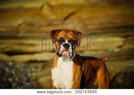 Boxer dog with natural ears against bluffs