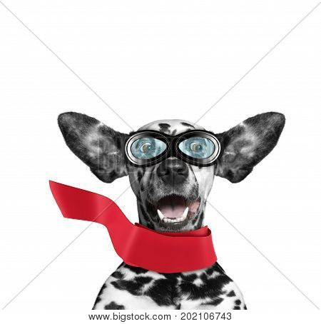Cute dalmatian dog flying with his ears like a superhero. Isolated on white background