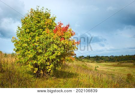 Beautiful autumn landscape with a lonely red ash. Red berries and red leaves on the mountain ash. Cloudy sky. Sunlight on the mountain ash. Yellow withered grass. Wildlife. A rustic appearance. Village houses in the background.