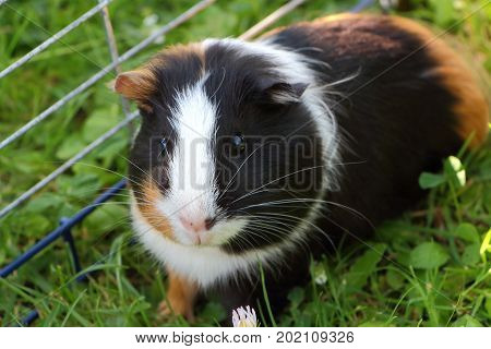 Guinea pig in grass under a wire fencing in a garden