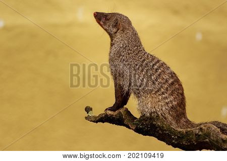 Banded mongoose sitting on a wooden branch looking away from the camera