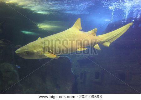 Full predator against the backdrop of a sunken cartel
