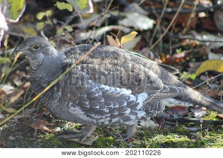 Female Grouse On The Forest Floor In The Mountains