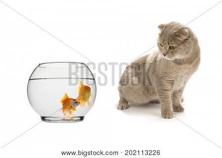 Scottish Fold cat looking at goldfish isolated on white background.