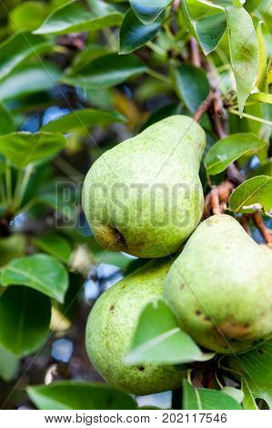 Green Bartlett pears or Williams pears growing in pear tree