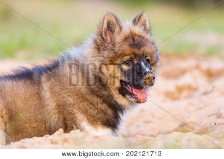 Cute Elo Puppy Lies In A Sand Pit
