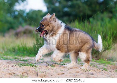 Cute Elo Puppy Runs Outdoors