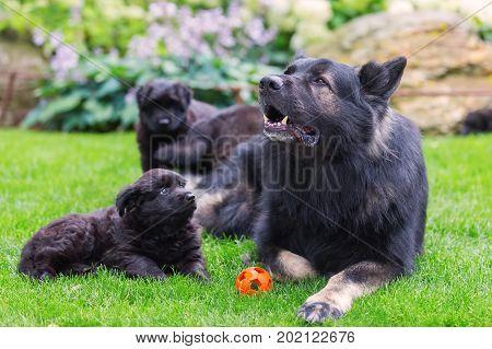 Adult Old German Shepherd Dog Lies With Puppies In The Garden