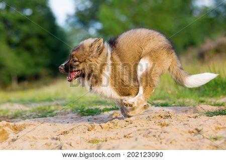 Cute Elo Dog Runs In A Sand Pit