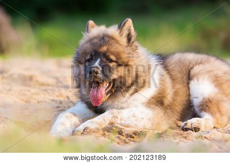 Cute Elo Dog Plays In A Sand Pit