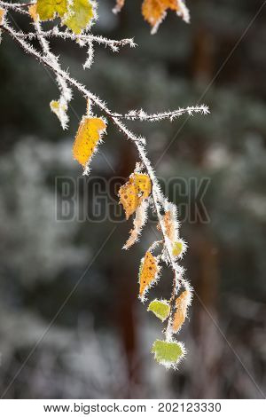 Beautiful hoar frost crystals on autumn leaves