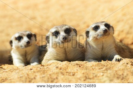 Cute Meerkat ( Suricata suricatta ) liyng on the sand. Funny African animals.