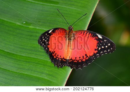A pretty lacewing butterfly lands on a plant leaf in the gardens.