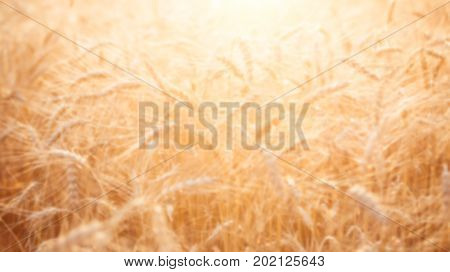 Blurred image of ripe wheat spikelets